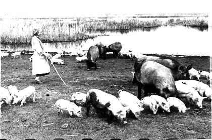 пасет поросят В.А. Громова 1950